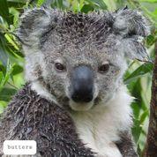 Friends of the Koala Inc